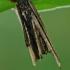 Mažoji psychė - Psyche casta, vikšro namelis | Fotografijos autorius : Gintautas Steiblys | © Macrogamta.lt | Šis tinklapis priklauso bendruomenei kuri domisi makro fotografija ir fotografuoja gyvąjį makro pasaulį.