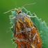 Švinajuostis lapsukis - Ptycholoma lecheana | Fotografijos autorius : Gintautas Steiblys | © Macrogamta.lt | Šis tinklapis priklauso bendruomenei kuri domisi makro fotografija ir fotografuoja gyvąjį makro pasaulį.
