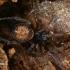 Dvitaškis brėžius - Steatoda bipunctata  | Fotografijos autorius : Gintautas Steiblys | © Macrogamta.lt | Šis tinklapis priklauso bendruomenei kuri domisi makro fotografija ir fotografuoja gyvąjį makro pasaulį.