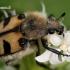 Raštuotasis auksavabalis - Trichius fasciatus  | Fotografijos autorius : Gintautas Steiblys | © Macrogamta.lt | Šis tinklapis priklauso bendruomenei kuri domisi makro fotografija ir fotografuoja gyvąjį makro pasaulį.