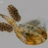 Ciklopas - Cyclop sp. | Fotografijos autorius : Gintautas Steiblys | © Macrogamta.lt | Šis tinklapis priklauso bendruomenei kuri domisi makro fotografija ir fotografuoja gyvąjį makro pasaulį.