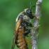Cimbeksas - Trichiosoma sp.  | Fotografijos autorius : Gintautas Steiblys | © Macrogamta.lt | Šis tinklapis priklauso bendruomenei kuri domisi makro fotografija ir fotografuoja gyvąjį makro pasaulį.