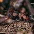 Rudoji miško skruzdelė - Formica rufa | Fotografijos autorius : Gintautas Steiblys | © Macrogamta.lt | Šis tinklapis priklauso bendruomenei kuri domisi makro fotografija ir fotografuoja gyvąjį makro pasaulį.