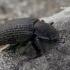 Kempininis juodvabalis - Bolitophagus reticulatus | Fotografijos autorius : Gintautas Steiblys | © Macrogamta.lt | Šis tinklapis priklauso bendruomenei kuri domisi makro fotografija ir fotografuoja gyvąjį makro pasaulį.