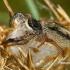 Juostuotasis margašoklis - Marpissa radiata  | Fotografijos autorius : Gintautas Steiblys | © Macrogamta.lt | Šis tinklapis priklauso bendruomenei kuri domisi makro fotografija ir fotografuoja gyvąjį makro pasaulį.