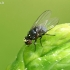 Minamusė - Agromyzidae  | Fotografijos autorius : Gintautas Steiblys | © Macrogamta.lt | Šis tinklapis priklauso bendruomenei kuri domisi makro fotografija ir fotografuoja gyvąjį makro pasaulį.