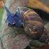 Pelkinė kūdrinukė - Stagnicola palustris | Fotografijos autorius : Gintautas Steiblys | © Macrogamta.lt | Šis tinklapis priklauso bendruomenei kuri domisi makro fotografija ir fotografuoja gyvąjį makro pasaulį.