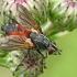 Dygliamusė - Eriothrix rufomaculatus  | Fotografijos autorius : Gintautas Steiblys | © Macrogamta.lt | Šis tinklapis priklauso bendruomenei kuri domisi makro fotografija ir fotografuoja gyvąjį makro pasaulį.