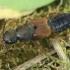Trumpasparnis - Platydracus stercorarius  | Fotografijos autorius : Gintautas Steiblys | © Macrogamta.lt | Šis tinklapis priklauso bendruomenei kuri domisi makro fotografija ir fotografuoja gyvąjį makro pasaulį.