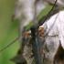 Bitkrėslinis stiebalindis - Phytoecia virgula    Fotografijos autorius : Gintautas Steiblys   © Macrogamta.lt   Šis tinklapis priklauso bendruomenei kuri domisi makro fotografija ir fotografuoja gyvąjį makro pasaulį.