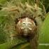 Araneus quadratus - Keturdėmis kryžiuotis | Fotografijos autorius : Algirdas Vilkas | © Macrogamta.lt | Šis tinklapis priklauso bendruomenei kuri domisi makro fotografija ir fotografuoja gyvąjį makro pasaulį.