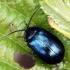 Mėlynasis alksniagraužis - Agelastica alni  | Fotografijos autorius : Algirdas Vilkas | © Macrogamta.lt | Šis tinklapis priklauso bendruomenei kuri domisi makro fotografija ir fotografuoja gyvąjį makro pasaulį.