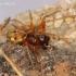 Pachygnatha listeri - Rausvasis gūžokas | Fotografijos autorius : Algirdas Vilkas | © Macrogamta.lt | Šis tinklapis priklauso bendruomenei kuri domisi makro fotografija ir fotografuoja gyvąjį makro pasaulį.