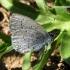 Celastrina argiolus - Žydrasis melsvys | Fotografijos autorius : Algirdas Vilkas | © Macrogamta.lt | Šis tinklapis priklauso bendruomenei kuri domisi makro fotografija ir fotografuoja gyvąjį makro pasaulį.