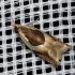 Dobilinis ancylis - Ancylis badiana | Fotografijos autorius : Algirdas Vilkas | © Macrogamta.lt | Šis tinklapis priklauso bendruomenei kuri domisi makro fotografija ir fotografuoja gyvąjį makro pasaulį.