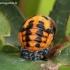 Coccinella septempunctata - Septyntaškė boružė | Fotografijos autorius : Algirdas Vilkas | © Macrogamta.lt | Šis tinklapis priklauso bendruomenei kuri domisi makro fotografija ir fotografuoja gyvąjį makro pasaulį.