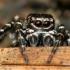 Sitticus floricola - Žiedinis dėmėtšoklis | Fotografijos autorius : Lukas Jonaitis | © Macrogamta.lt | Šis tinklapis priklauso bendruomenei kuri domisi makro fotografija ir fotografuoja gyvąjį makro pasaulį.