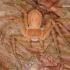Philodromus fuscomarginatus - Tamsusis vikrūnas   Fotografijos autorius : Lukas Jonaitis   © Macrogamta.lt   Šis tinklapis priklauso bendruomenei kuri domisi makro fotografija ir fotografuoja gyvąjį makro pasaulį.
