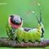 Cerura vinula - Didysis dviuodegis   Fotografijos autorius : Lukas Jonaitis   © Macrogamta.lt   Šis tinklapis priklauso bendruomenei kuri domisi makro fotografija ir fotografuoja gyvąjį makro pasaulį.