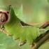 Cerura vinula - Didysis dviuodegis | Fotografijos autorius : Lukas Jonaitis | © Macrogamta.lt | Šis tinklapis priklauso bendruomenei kuri domisi makro fotografija ir fotografuoja gyvąjį makro pasaulį.