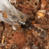 Segestria senoculata - Šešiaakis plyšiavoris | Fotografijos autorius : Lukas Jonaitis | © Macrogamta.lt | Šis tinklapis priklauso bendruomenei kuri domisi makro fotografija ir fotografuoja gyvąjį makro pasaulį.