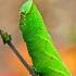 Akiuotasis sfinksas - Smerinthus ocellata, vikšras   Fotografijos autorius : Lukas Jonaitis   © Macrogamta.lt   Šis tinklapis priklauso bendruomenei kuri domisi makro fotografija ir fotografuoja gyvąjį makro pasaulį.