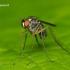 Dolichopus sp. - Ilgakojė muselė | Fotografijos autorius : Lukas Jonaitis | © Macrogamta.lt | Šis tinklapis priklauso bendruomenei kuri domisi makro fotografija ir fotografuoja gyvąjį makro pasaulį.