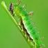 Limenitis camilla - Mažasis juodmargis | Fotografijos autorius : Lukas Jonaitis | © Macrogamta.lt | Šis tinklapis priklauso bendruomenei kuri domisi makro fotografija ir fotografuoja gyvąjį makro pasaulį.