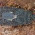 Mezira tremulae - Drebulinė žieviablakė | Fotografijos autorius : Lukas Jonaitis | © Macrogamta.lt | Šis tinklapis priklauso bendruomenei kuri domisi makro fotografija ir fotografuoja gyvąjį makro pasaulį.
