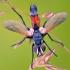 Dygliamusė - Cylindromyia brassicaria | Fotografijos autorius : Lukas Jonaitis | © Macrogamta.lt | Šis tinklapis priklauso bendruomenei kuri domisi makro fotografija ir fotografuoja gyvąjį makro pasaulį.