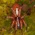 Arctosa alpigena lamperti - Pasalūnas | Fotografijos autorius : Lukas Jonaitis | © Macrogamta.lt | Šis tinklapis priklauso bendruomenei kuri domisi makro fotografija ir fotografuoja gyvąjį makro pasaulį.