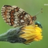 Melitaea athalia - Paprastoji šaškytė   Fotografijos autorius : Arūnas Eismantas   © Macrogamta.lt   Šis tinklapis priklauso bendruomenei kuri domisi makro fotografija ir fotografuoja gyvąjį makro pasaulį.