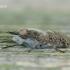 Haematopota pluvialis - Žabalis   Fotografijos autorius : Arūnas Eismantas   © Macrogamta.lt   Šis tinklapis priklauso bendruomenei kuri domisi makro fotografija ir fotografuoja gyvąjį makro pasaulį.