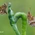 Carterocephalus silvicola - Geltonmargė hesperija | Fotografijos autorius : Arūnas Eismantas | © Macrogamta.lt | Šis tinklapis priklauso bendruomenei kuri domisi makro fotografija ir fotografuoja gyvąjį makro pasaulį.