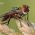 Ectophasia crassipennis - Dygliamusė   Fotografijos autorius : Arūnas Eismantas   © Macrogamta.lt   Šis tinklapis priklauso bendruomenei kuri domisi makro fotografija ir fotografuoja gyvąjį makro pasaulį.