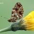 Boloria selene - Pievinis perlinukas | Fotografijos autorius : Arūnas Eismantas | © Macrogamta.lt | Šis tinklapis priklauso bendruomenei kuri domisi makro fotografija ir fotografuoja gyvąjį makro pasaulį.