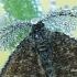 Ematurga atomaria - Rudasprindis | Fotografijos autorius : Arūnas Eismantas | © Macrogamta.lt | Šis tinklapis priklauso bendruomenei kuri domisi makro fotografija ir fotografuoja gyvąjį makro pasaulį.