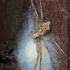 Philodromus cespitum - Storakraštis vikrūnas | Fotografijos autorius : Arūnas Eismantas | © Macrogamta.lt | Šis tinklapis priklauso bendruomenei kuri domisi makro fotografija ir fotografuoja gyvąjį makro pasaulį.