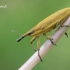 Lixus iridis - Maudinis stiebastraublis   Fotografijos autorius : Arūnas Eismantas   © Macrogamta.lt   Šis tinklapis priklauso bendruomenei kuri domisi makro fotografija ir fotografuoja gyvąjį makro pasaulį.
