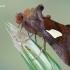 Autographa bractea - Auksalašis žvilgūnas | Fotografijos autorius : Arūnas Eismantas | © Macrogamta.lt | Šis tinklapis priklauso bendruomenei kuri domisi makro fotografija ir fotografuoja gyvąjį makro pasaulį.