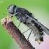 Zvimbeklė - Anthrax varius | Fotografijos autorius : Arūnas Eismantas | © Macrogamta.lt | Šis tinklapis priklauso bendruomenei kuri domisi makro fotografija ir fotografuoja gyvąjį makro pasaulį.