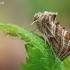 Grakštusis žvilgūnas - Euchalcia modestoides  | Fotografijos autorius : Arūnas Eismantas | © Macrogamta.lt | Šis tinklapis priklauso bendruomenei kuri domisi makro fotografija ir fotografuoja gyvąjį makro pasaulį.