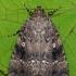 Piramidinis tamsusis pelėdgalvis - Amphipyra pyramidea | Fotografijos autorius : Arūnas Eismantas | © Macrogamta.lt | Šis tinklapis priklauso bendruomenei kuri domisi makro fotografija ir fotografuoja gyvąjį makro pasaulį.