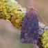 Šilauoginis vėlyvis - Conistra vaccinii | Fotografijos autorius : Arūnas Eismantas | © Macrogamta.lt | Šis tinklapis priklauso bendruomenei kuri domisi makro fotografija ir fotografuoja gyvąjį makro pasaulį.