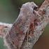 Paprastasis ankstyvasis pelėdgalvis - Orthosia incerta | Fotografijos autorius : Arūnas Eismantas | © Macrogamta.lt | Šis tinklapis priklauso bendruomenei kuri domisi makro fotografija ir fotografuoja gyvąjį makro pasaulį.