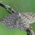 Scopula immorata - Margasparnis sprindžiukas | Fotografijos autorius : Arūnas Eismantas | © Macrogamta.lt | Šis tinklapis priklauso bendruomenei kuri domisi makro fotografija ir fotografuoja gyvąjį makro pasaulį.