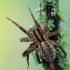 Hygrolycosa rubrofasciata - Raudonraištis drėgnuolis | Fotografijos autorius : Arūnas Eismantas | © Macrogamta.lt | Šis tinklapis priklauso bendruomenei kuri domisi makro fotografija ir fotografuoja gyvąjį makro pasaulį.