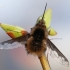 Bombylius major - Didžioji zvimbeklė | Fotografijos autorius : Arūnas Eismantas | © Macrogamta.lt | Šis tinklapis priklauso bendruomenei kuri domisi makro fotografija ir fotografuoja gyvąjį makro pasaulį.