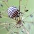 Juostelinė skydblakė - Graphosoma lineatum | Fotografijos autorius : Darius Baužys | © Macrogamta.lt | Šis tinklapis priklauso bendruomenei kuri domisi makro fotografija ir fotografuoja gyvąjį makro pasaulį.