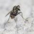 Ilgakojė muselė - Dolichopus sp. | Fotografijos autorius : Darius Baužys | © Macrogamta.lt | Šis tinklapis priklauso bendruomenei kuri domisi makro fotografija ir fotografuoja gyvąjį makro pasaulį.